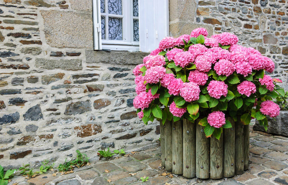 Combine your entire hydrangea blossoms in one big vase and make it look like the leaves in trees. You can emphasize this image by using wooden logs arranged similar to tree trunks.