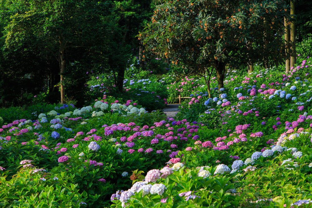 Large field of hydrangeas. Normally hydrangeas are planted in a row such as along the side of a house or a long a fence.