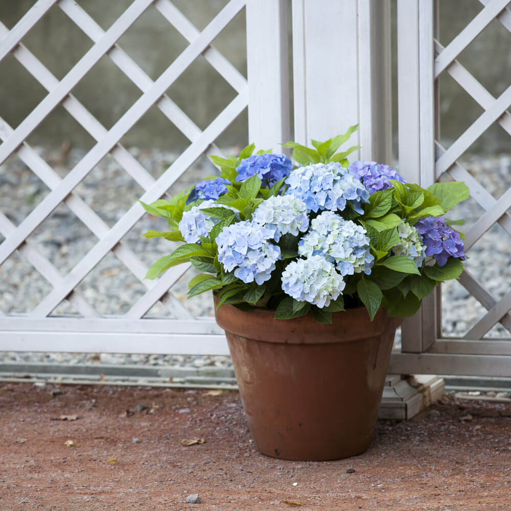 Place hydrangea vases in each corner or connecting area of your fences to provide accents in these areas. This would also allow you to give color to an otherwise plain fence.