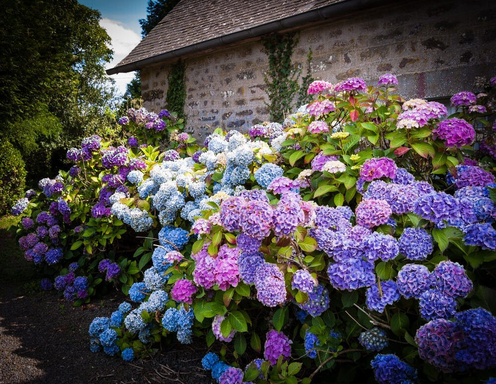 Tall hydrangea bushes along a old brick building.