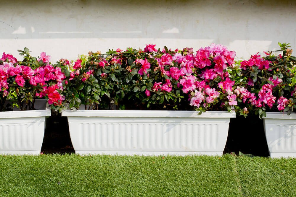 White flower boxes placed on the ground against the wall filled with fuchsia flowers.