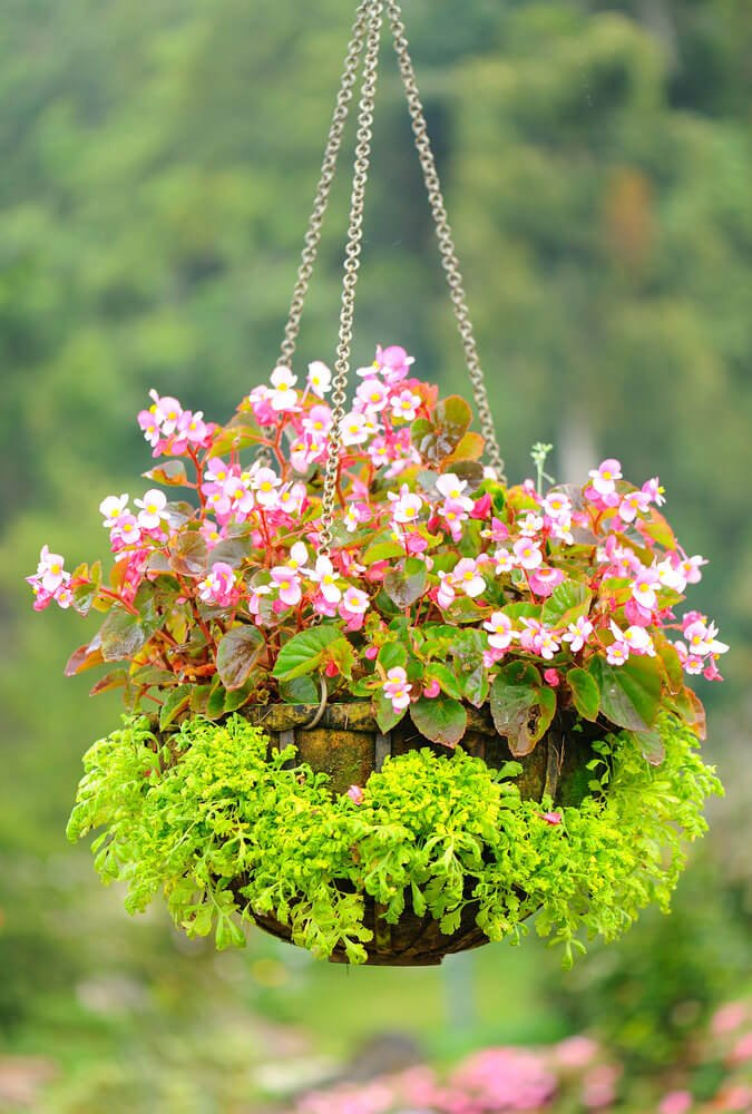 Another example of a flower basket with greenery growing from the suspended pot.