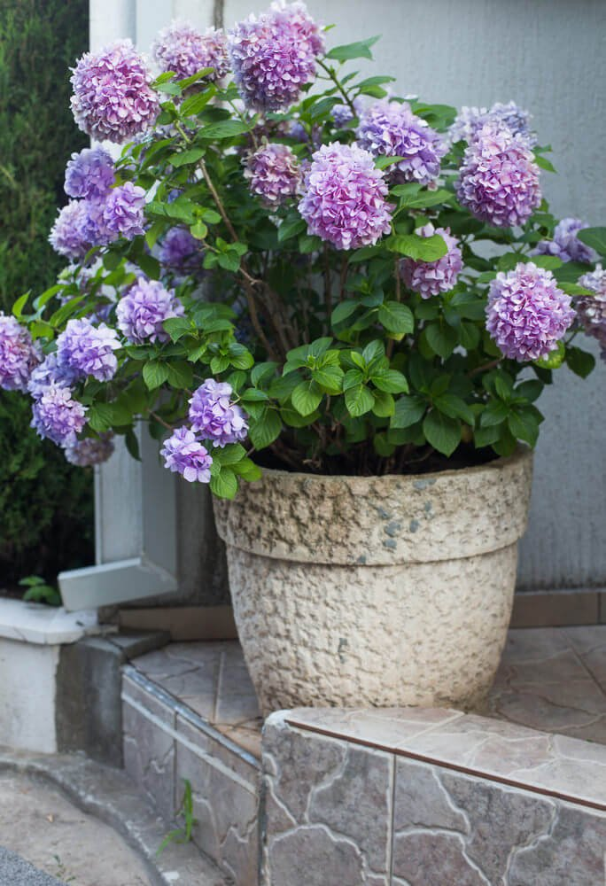 Let your hydrangeas come into full bloom to give a more mysterious feeling to them. It is like looking at cotton or balloons floating in the sky.