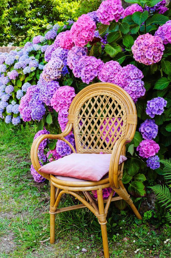 Bright pink, purple and blue hydrangea bushes.
