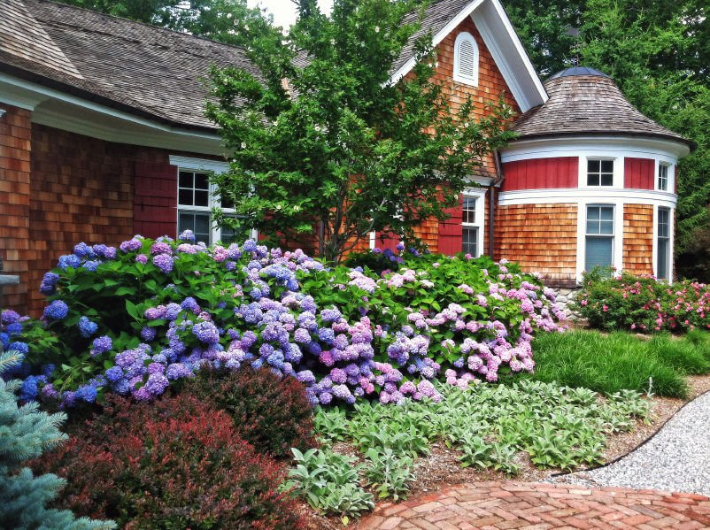 Hydrangea garden lined along the entire width of a front of a beautiful home.