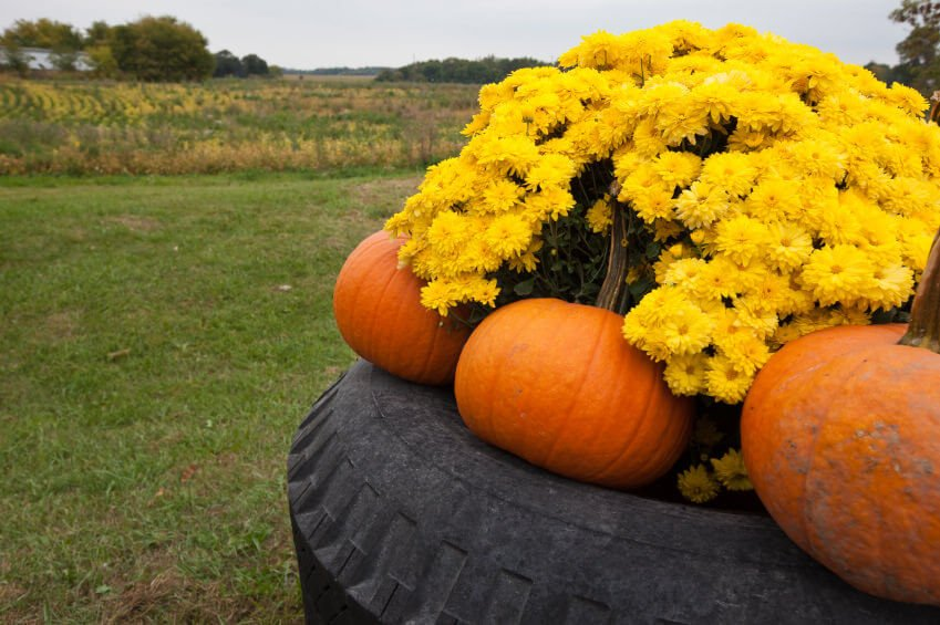 A huge tire tractor tire turned into pumpkin and flower garden.