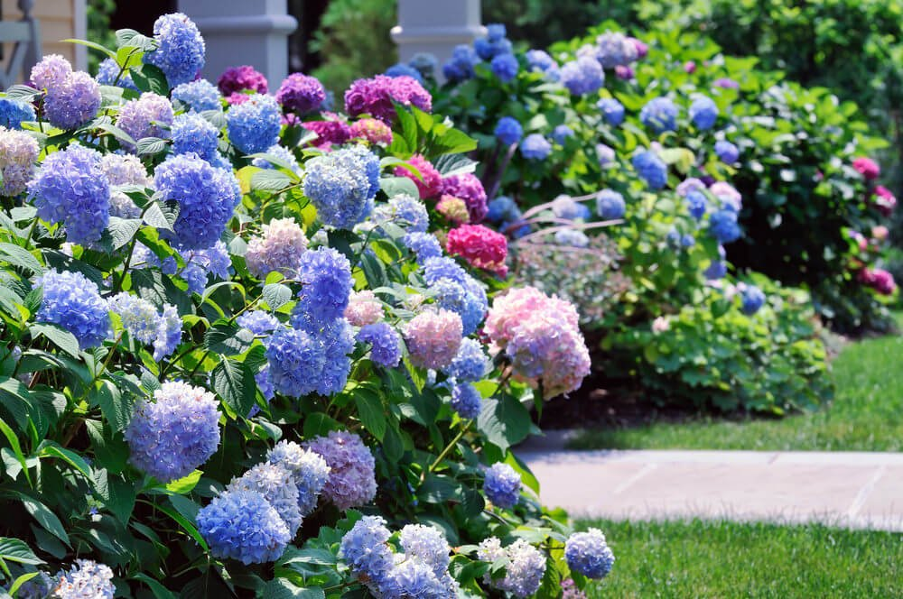 The Mophead hydrangea flowers seem to overwhelm the view with their beauty.