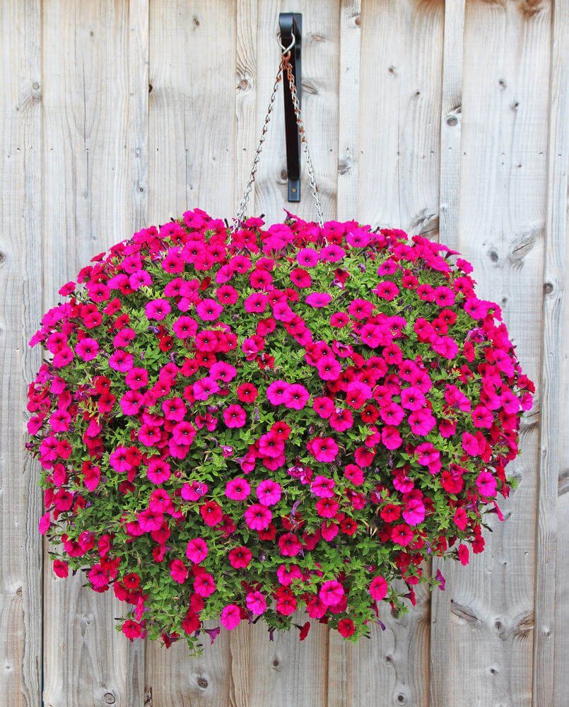 Spectacular pink hanging flower that is absolutely enormous hung by chain attached to a fence.