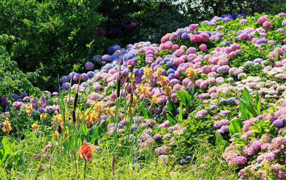 Cascading wall of blue, violet, and pink hydrangea flowers.