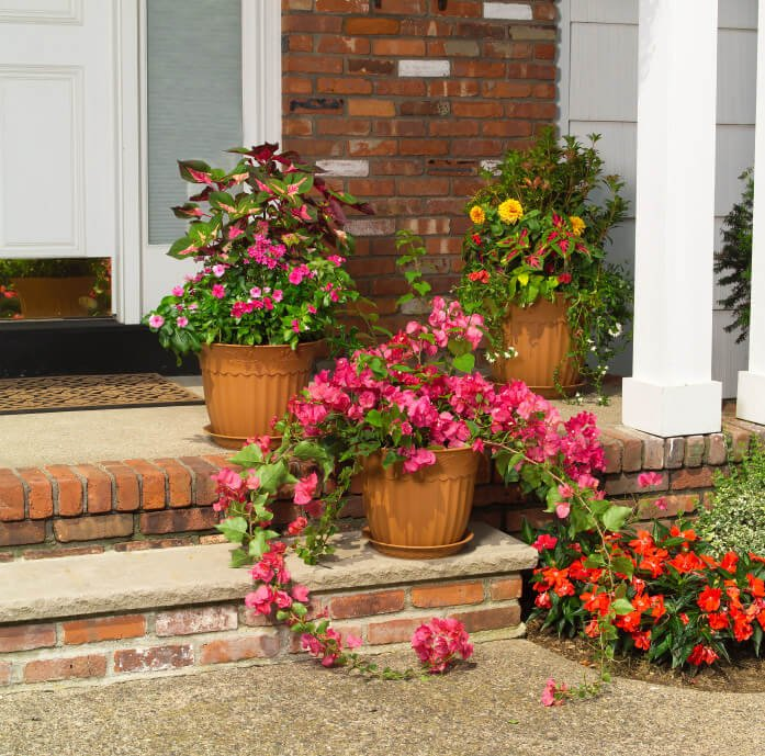 """Some of the common tropical flowers like bougainvillea and """"mayana"""" planted in large plastic pots with bottom plastic pot plates."""