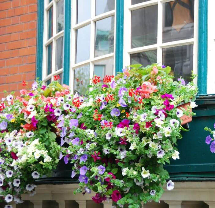 Multi-coloured flowers spilling over the flower box under a window.