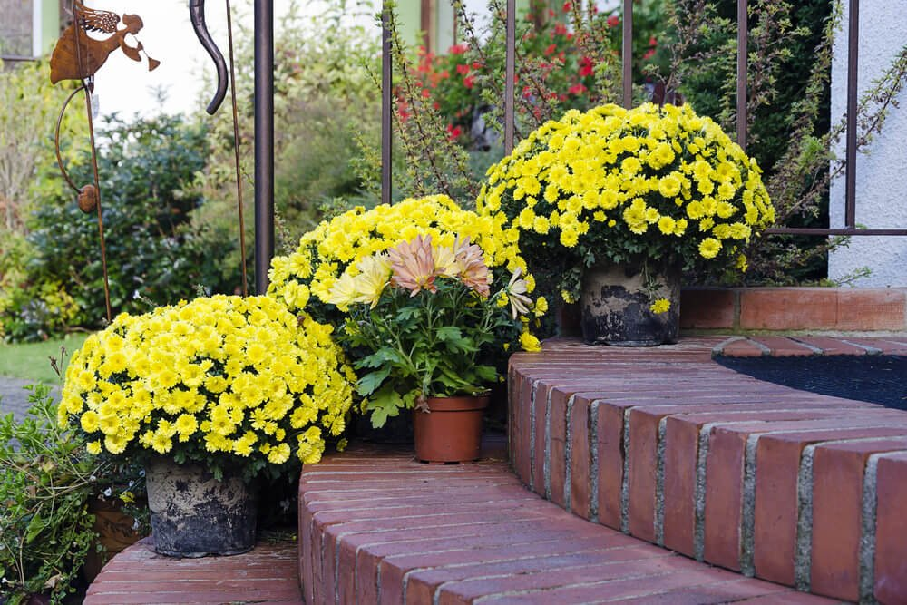 Planted with margarita and chrysanthemum, these plastic pots become unnoticeable. The full bloomed flowers match wonderfully with the rounded brick steps.