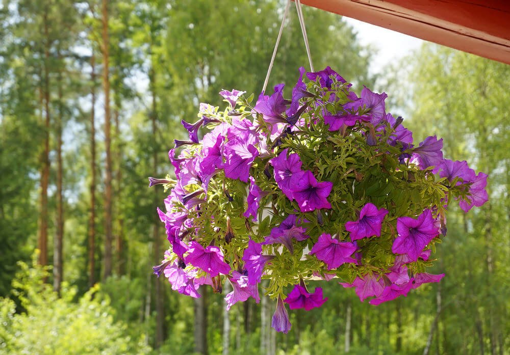 Beautiful all purple flower hanging basket.