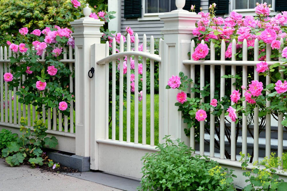 The full-bloomed pink roses beautifully peek out the gaps of the fence.