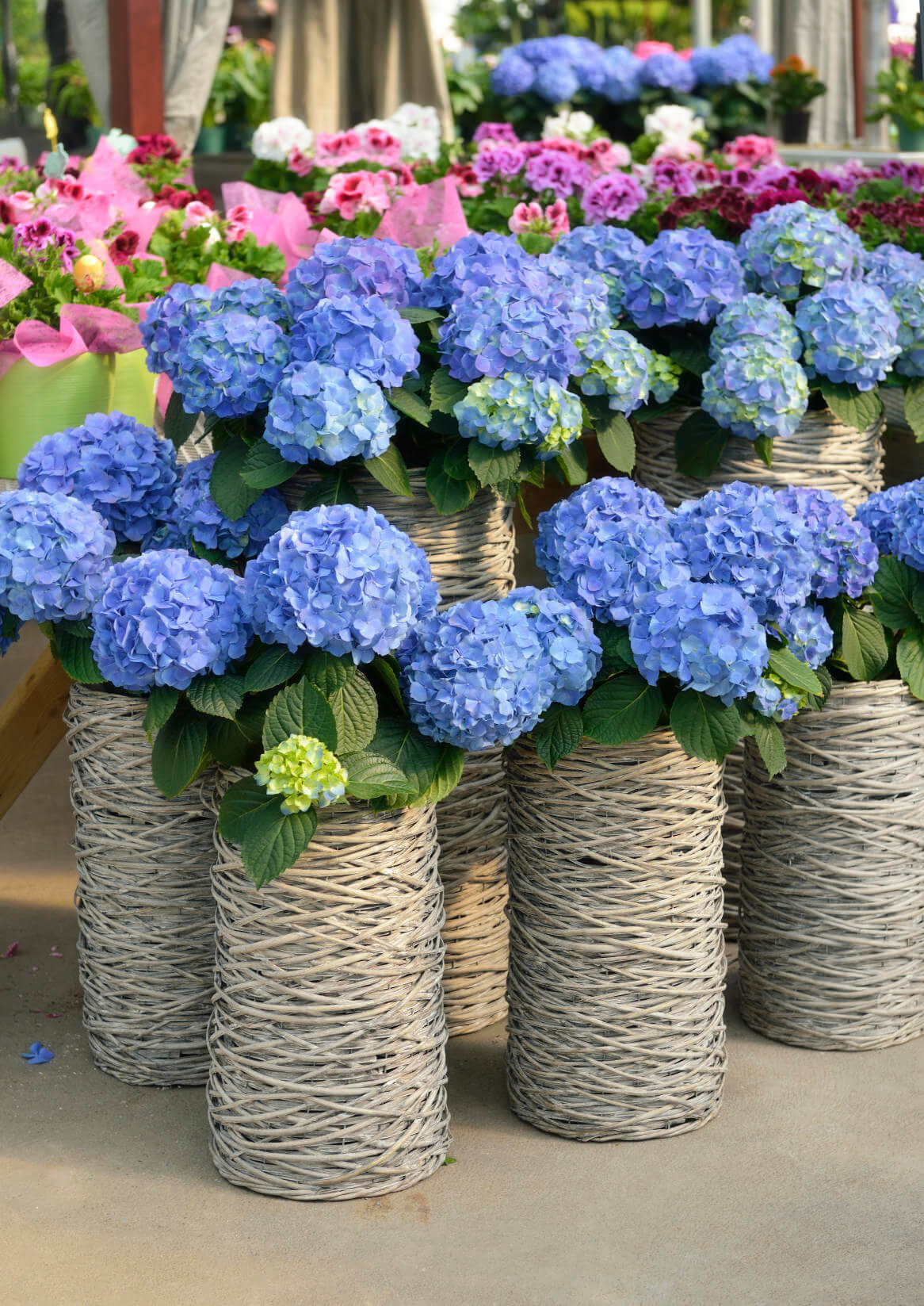 Give your garden a feel of the flower marketplaces in Japan selling hydrangeas by using wicker or woven tall vases. Make sure you use the same color and blend when using this arrangement.