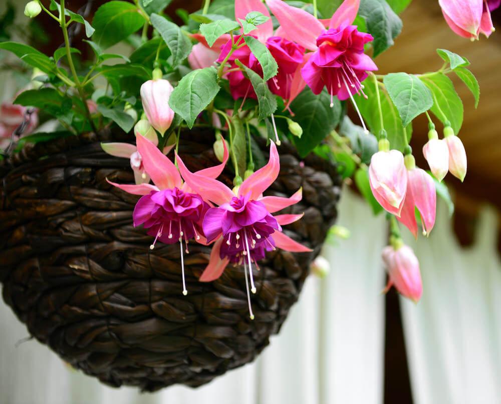 Fuchsias in hanging basket.