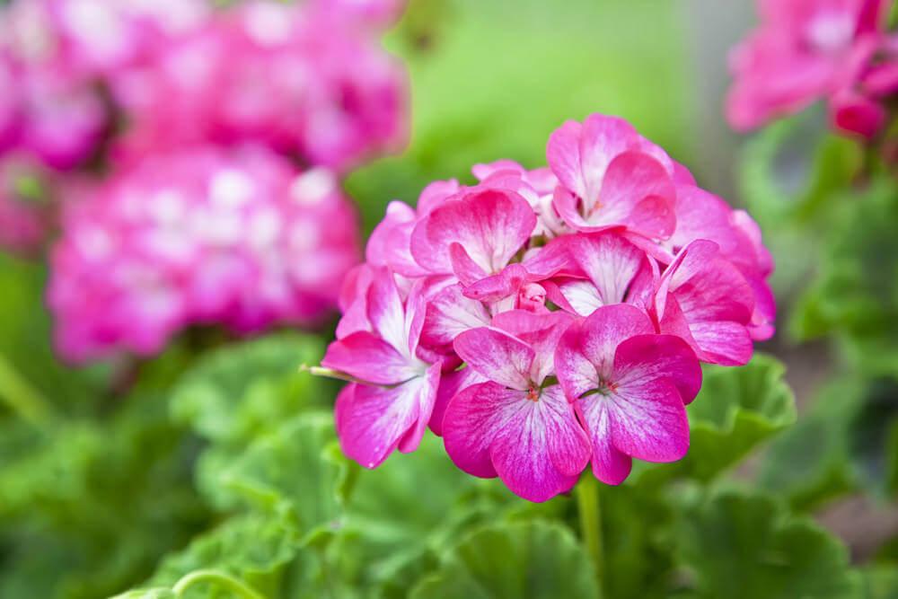 Close up of pink geranium flower.