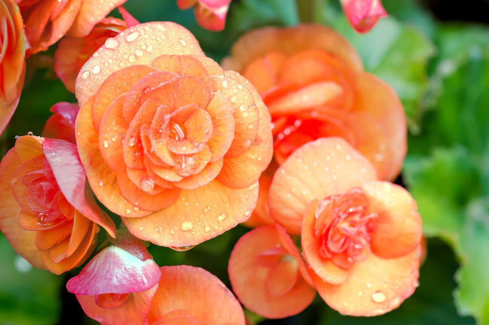 Close up of orange Begonias.