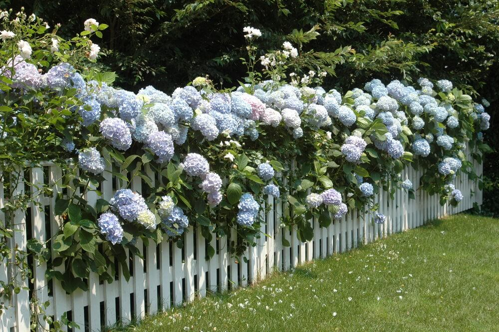 Soft coloured hydrangeas growing along the top and threw a white picket fence.