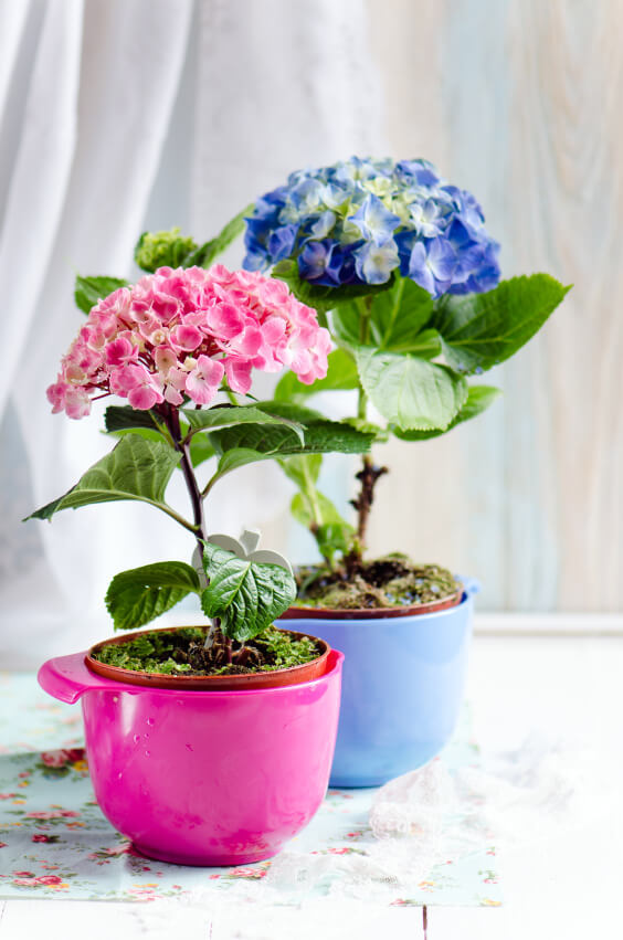 Use colored vases to add a playful vibe to your hydrangea arrangement. Remember to only use one hydrangea stock (complete with their leaves) to make it stand out even more. This arrangement is good for counter tops and living rooms.