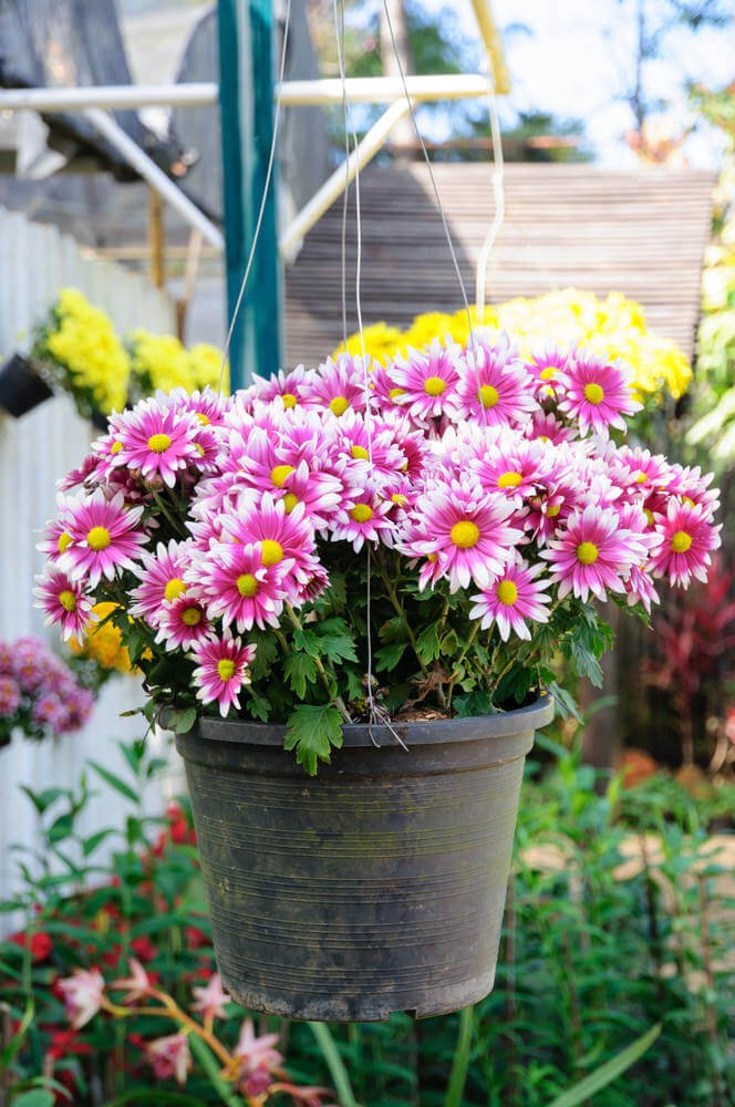 Hanging post with chrysanthemums
