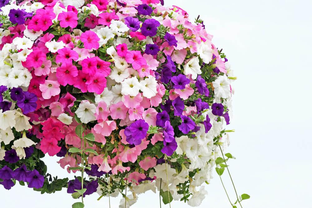 Petunias hanging flower basket