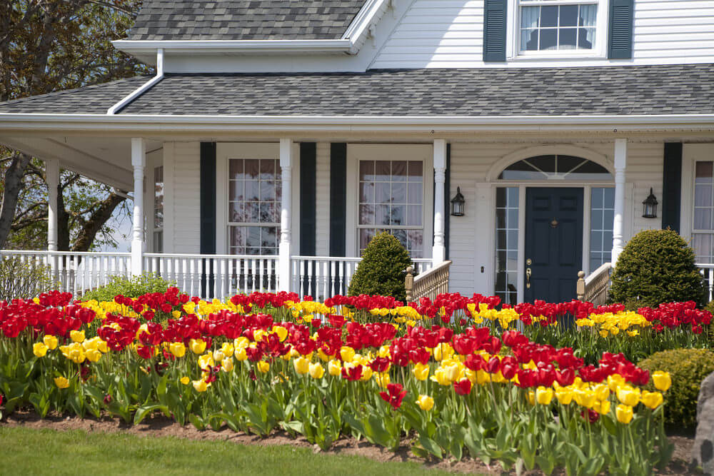 The greenery and simple view of the white house serves as the tulips perfect spot to shine.