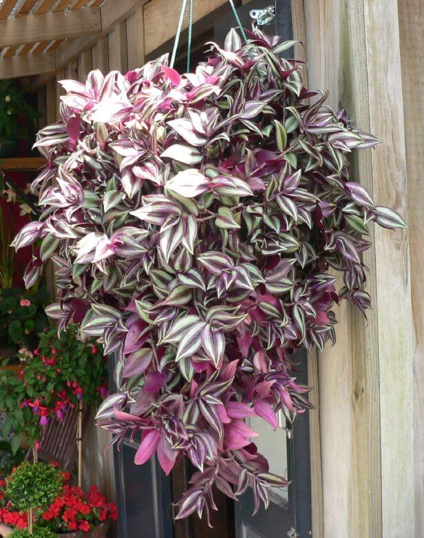 A terrific example that not all hanging baskets need to be flowers. This is a beautiful purple pink and off-white leafy hanging basket.