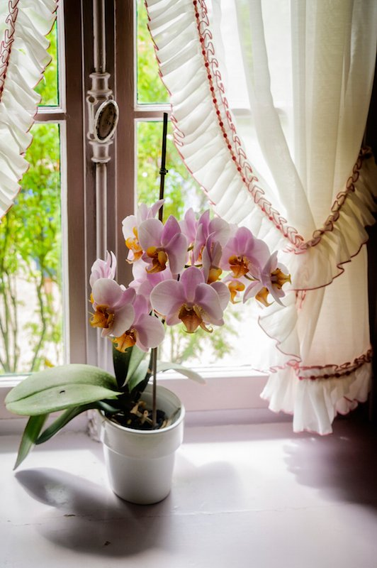 Moth Orchids, or Phalanopsis, are beautiful additions to any space, and they filter out xylene and toluene from your environment. Orchids are non-toxic to pets, so they are fairly safe to leave unsupervised.
