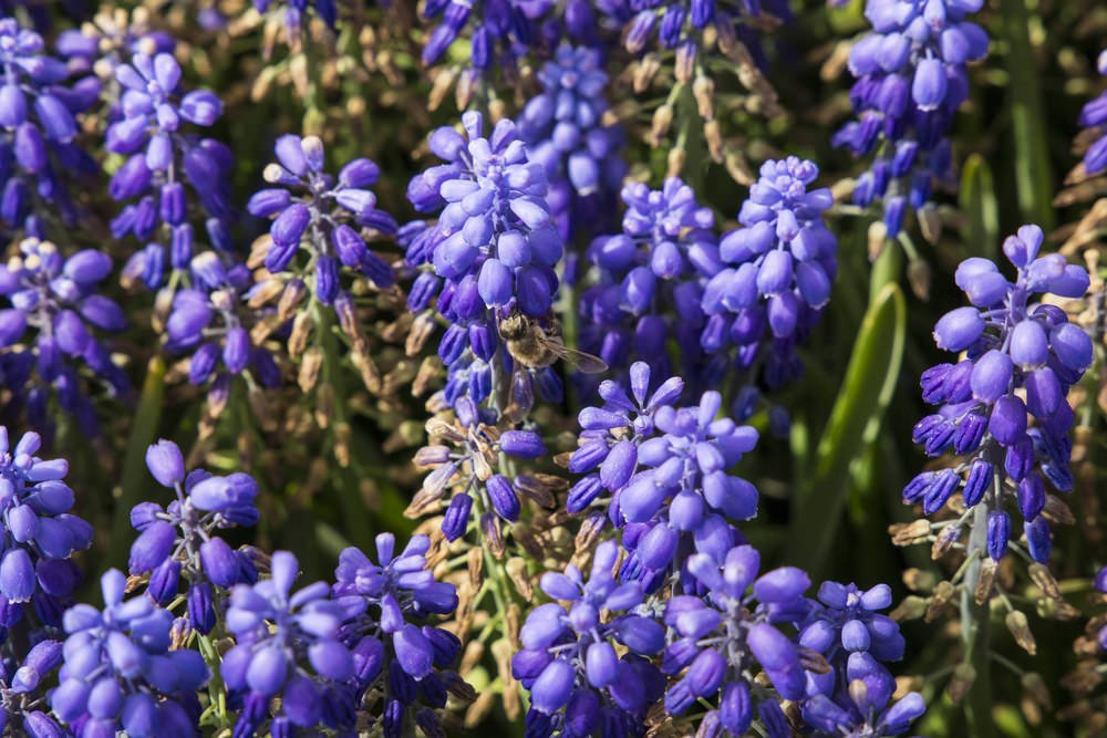 Purple Lavenders are Mediterranean flowers with heavy fragrance. They are easy to grow especially in sandy well-drained slightly alkaline soil. They are well-known for their relaxing and healing capacities and used in relieving migraine, insomnia, and headache.