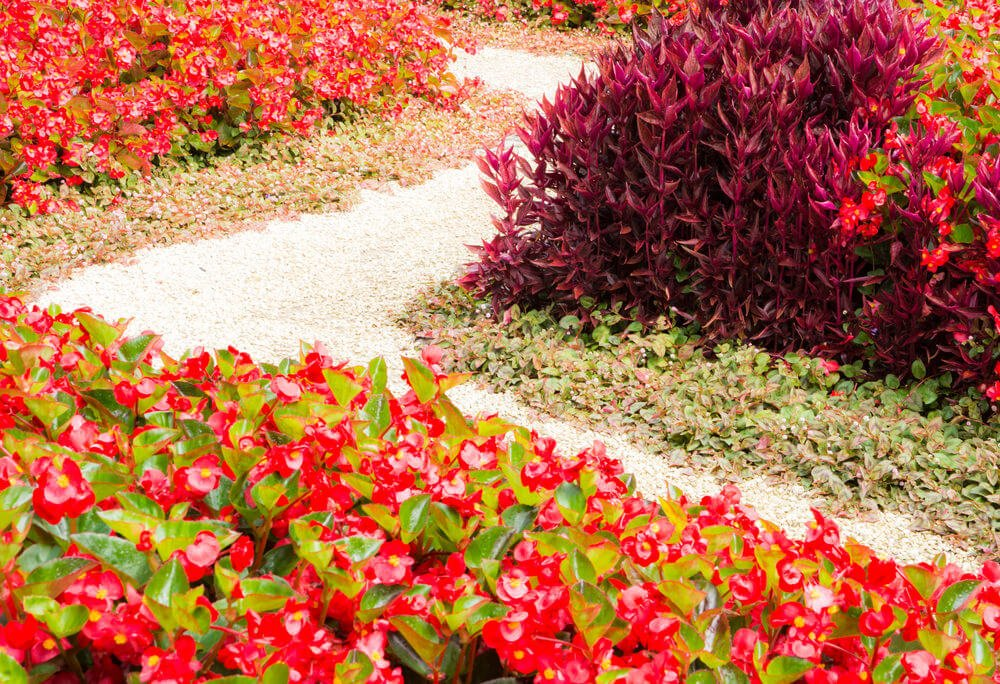 Pebbles, begonias and purple shrubs are a good combination for a simple yet vibrant looking pathway.