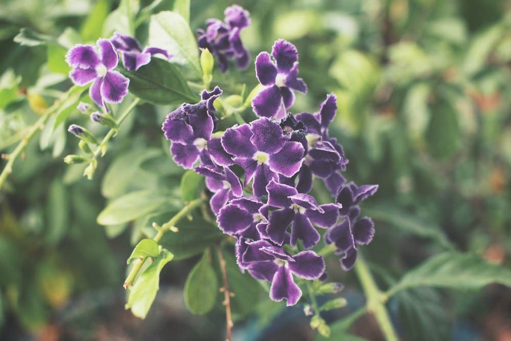 Also known as Sage, Purple Salvia flowers are related to Kitchen Sage and grow small densely packed flowers on top of an aromatic foliage. They can reach from 18 inches up to 5 feet tall, easy to care, tolerant of dry soil, and attract hummingbirds.