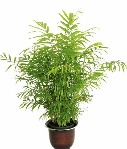 Chamadorea seifrizii can grow even in low light conditions, and require water only when the surface of their soil feel dry. Bamboo palms don't like change, so keep them in the same place, as they will drop their leaves after being moved.