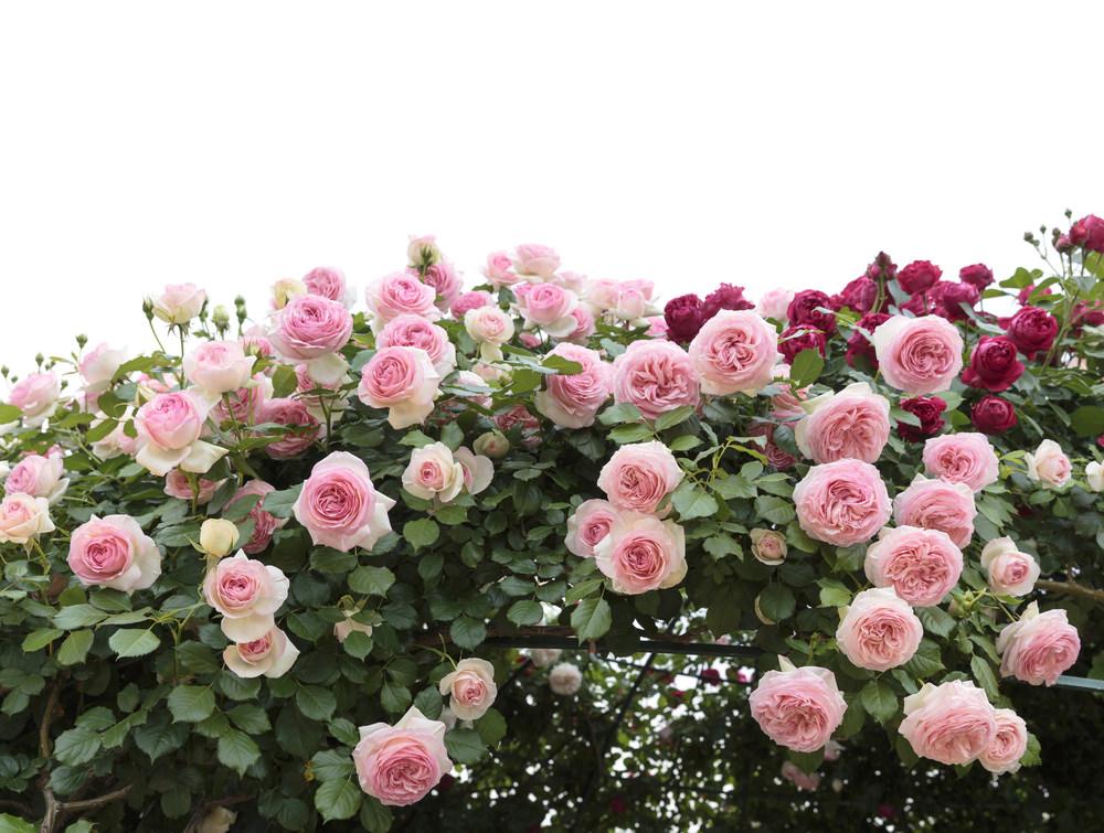 Roses (Rosa spp.)