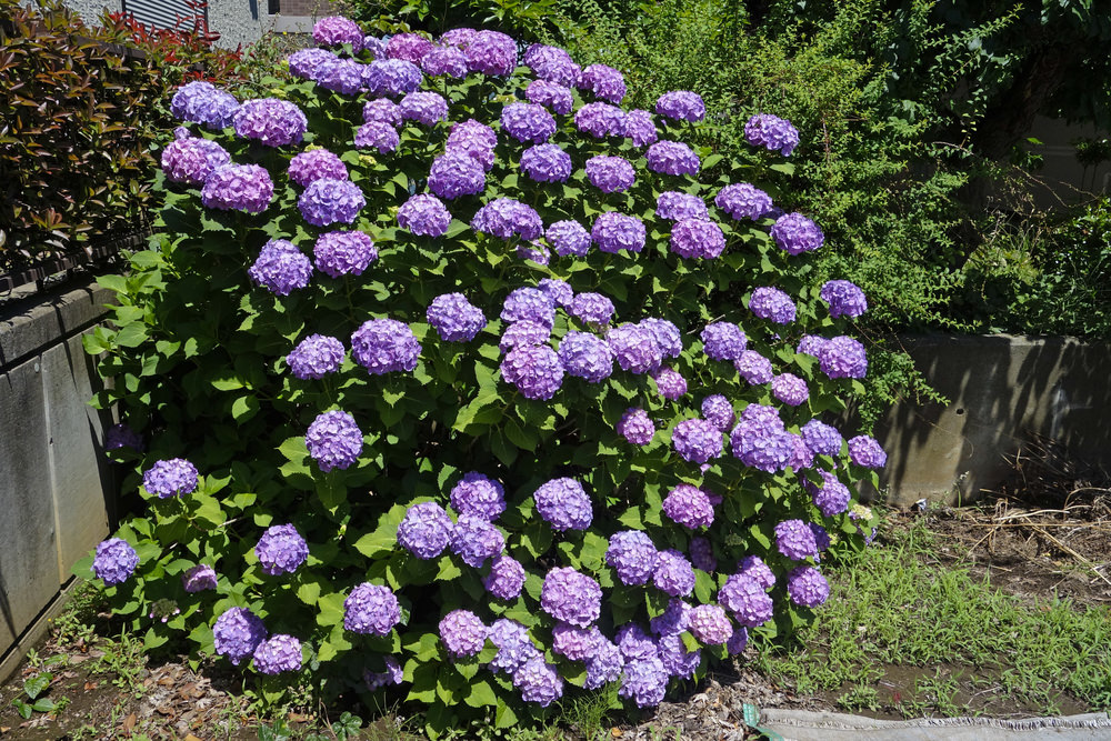 Purple Hydrangeas are broad-leaved shrubs or vines with showy flowers. They are a great choice for group planting, borders, or containers. They are easy to cultivate and tolerant of most soil.
