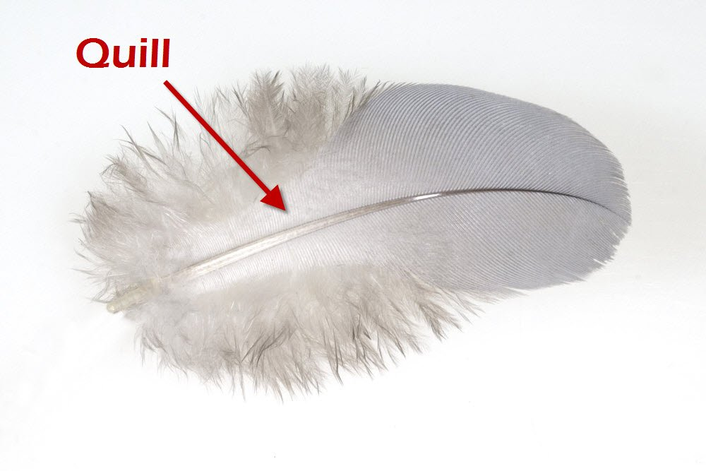 Goose feather with quill