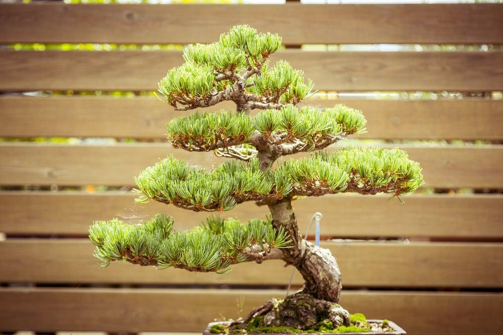 10-bonsai-tree