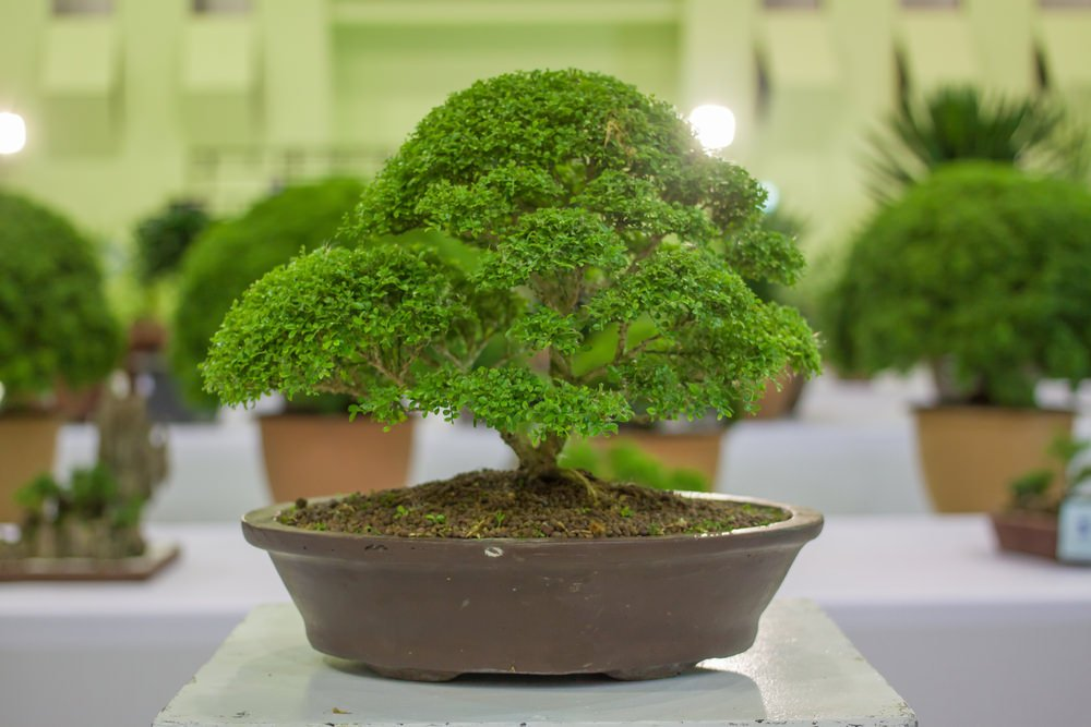 12-bonsai-tree