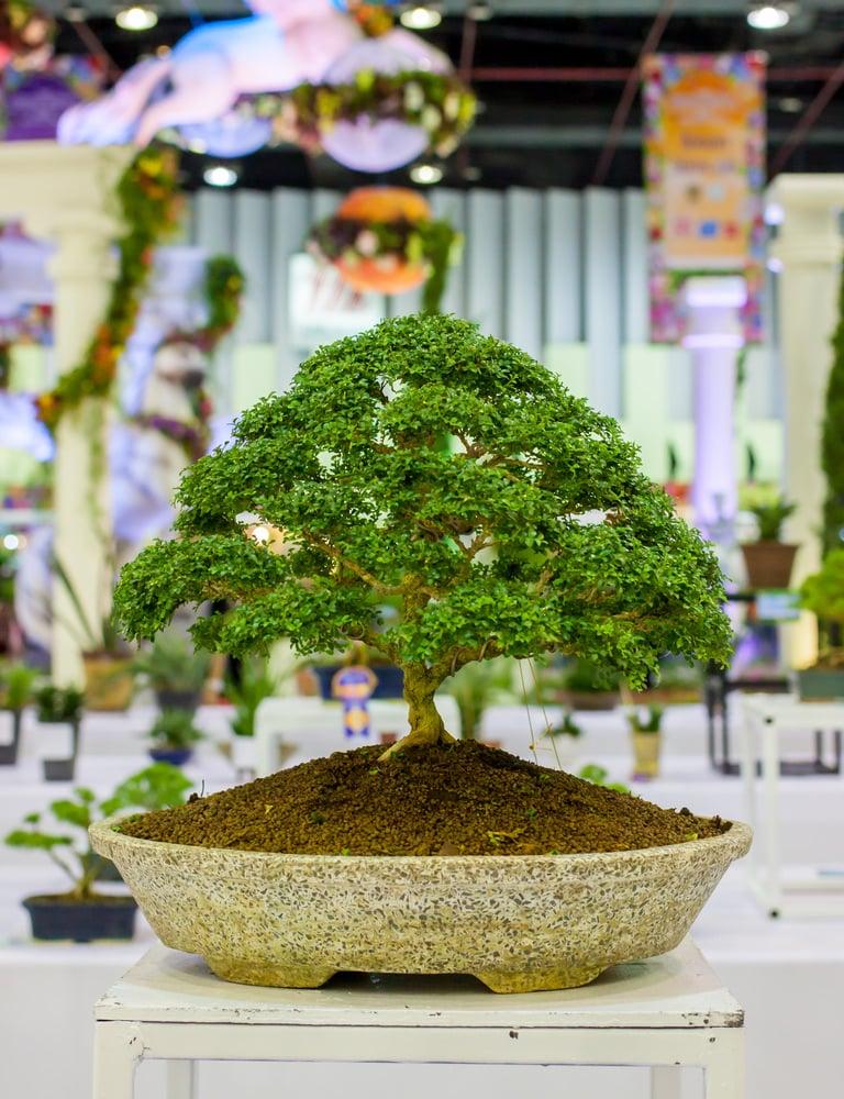 Broom Style Bonsai Tree