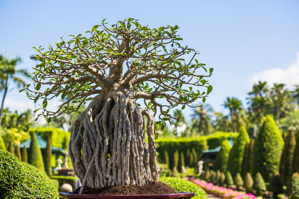 19-bonsai-tree