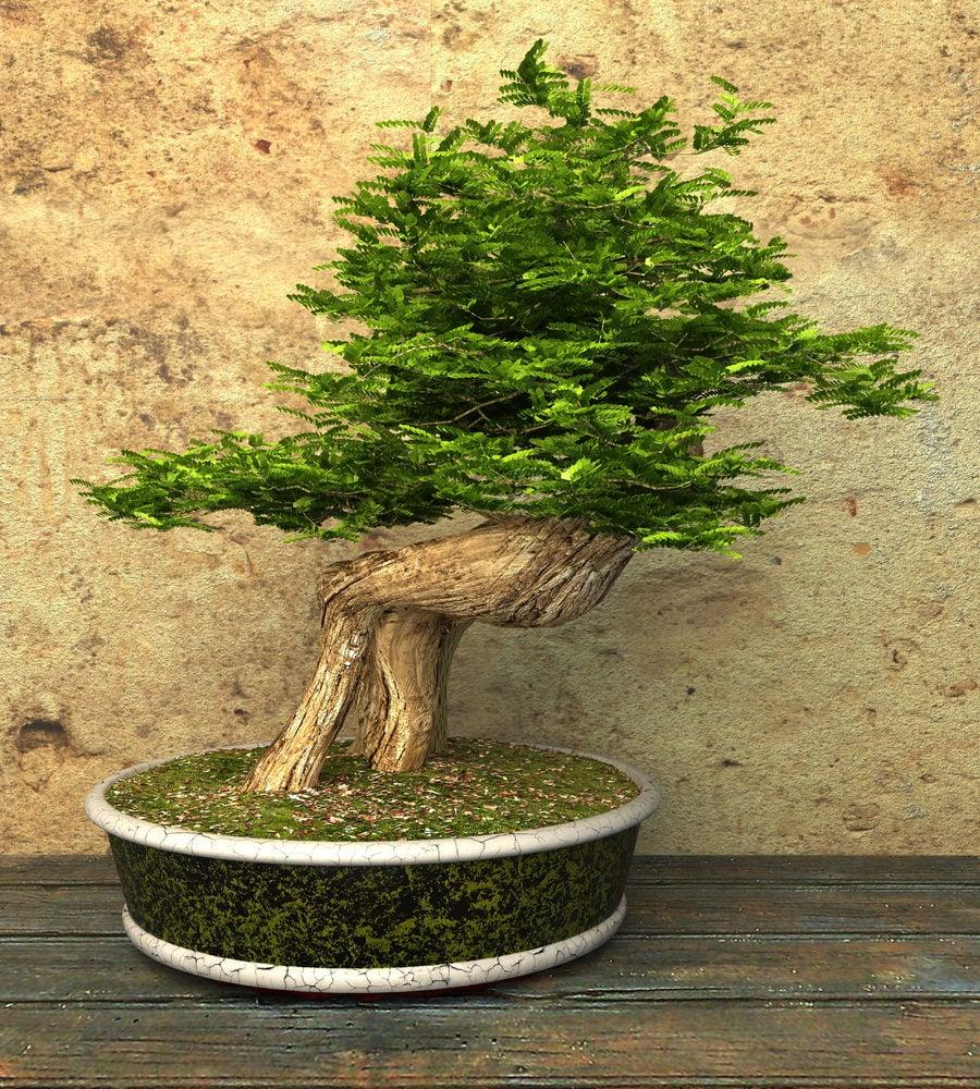 31-bonsai-tree