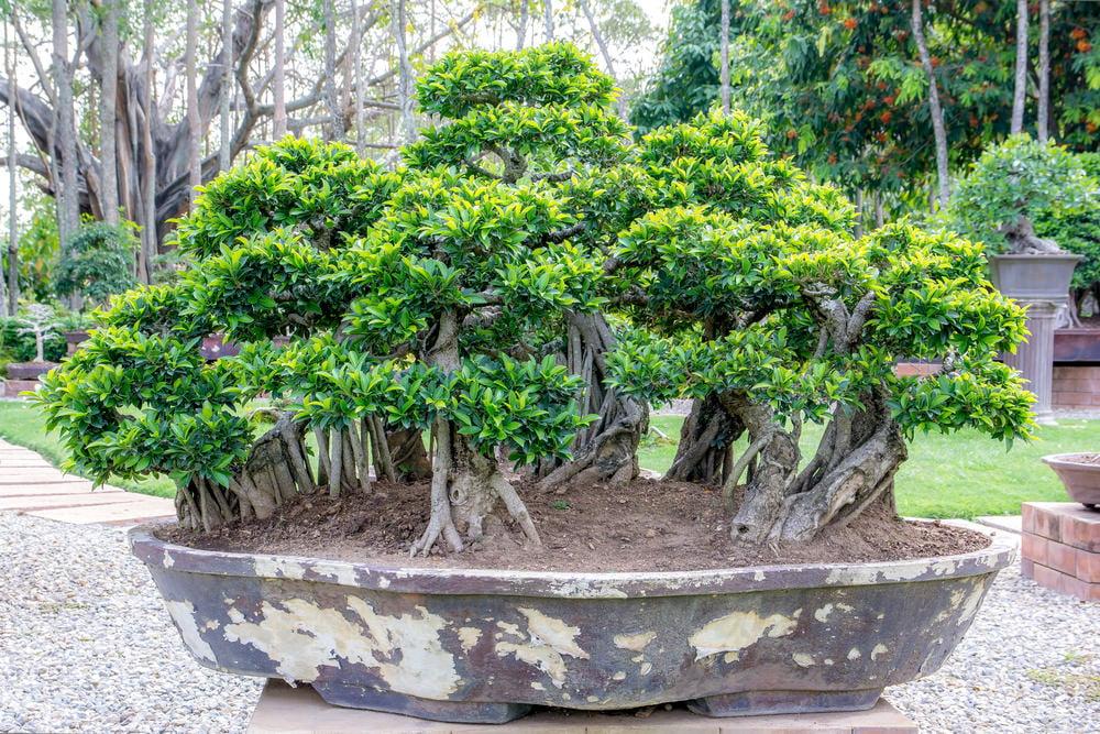 33-bonsai-tree