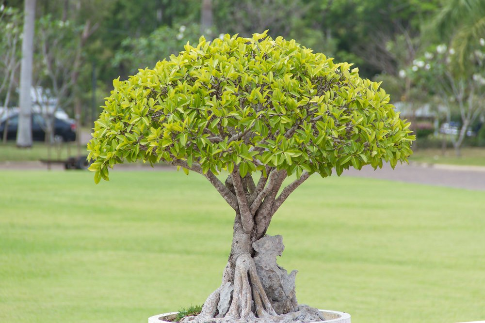 37-bonsai-tree