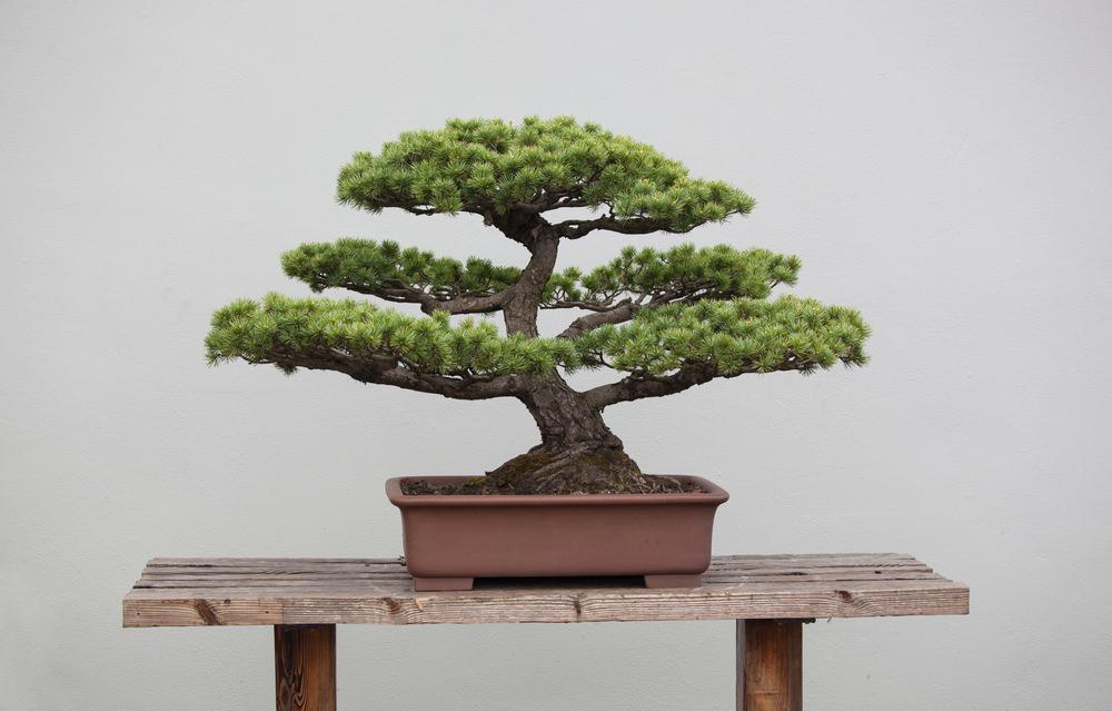 Informal Upright Bonsai Tree
