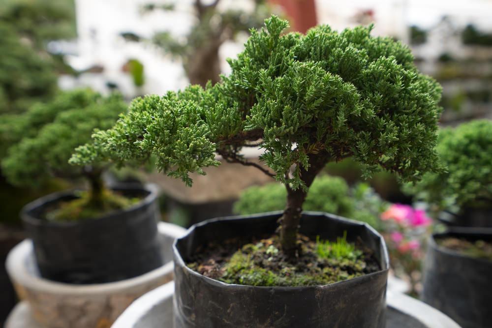 46-bonsai-tree