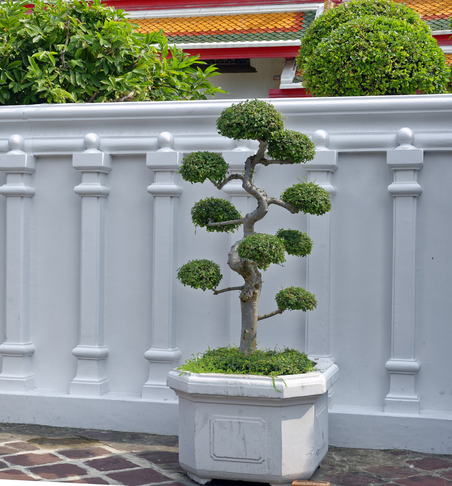 47-bonsai-tree