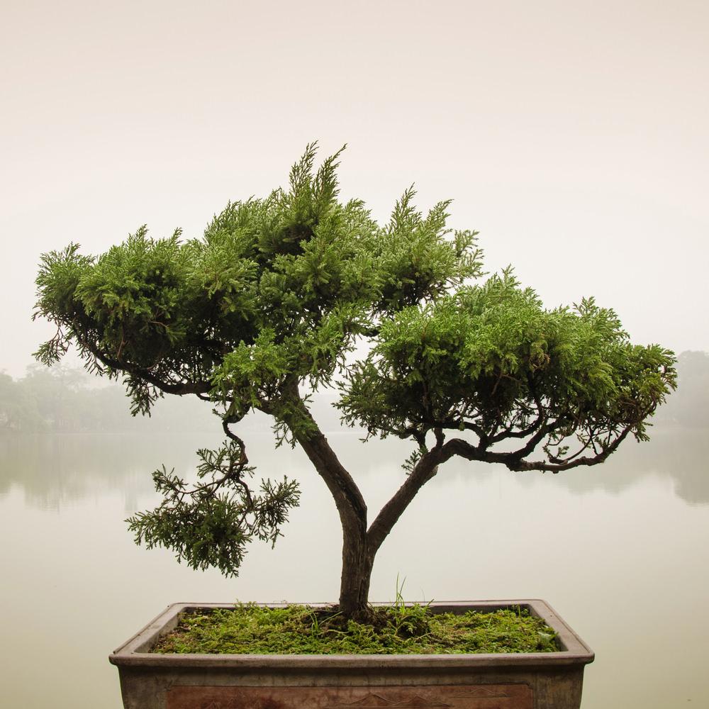 5-bonsai-tree