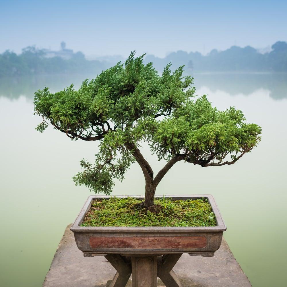 Double Trunk Bonsai Tree