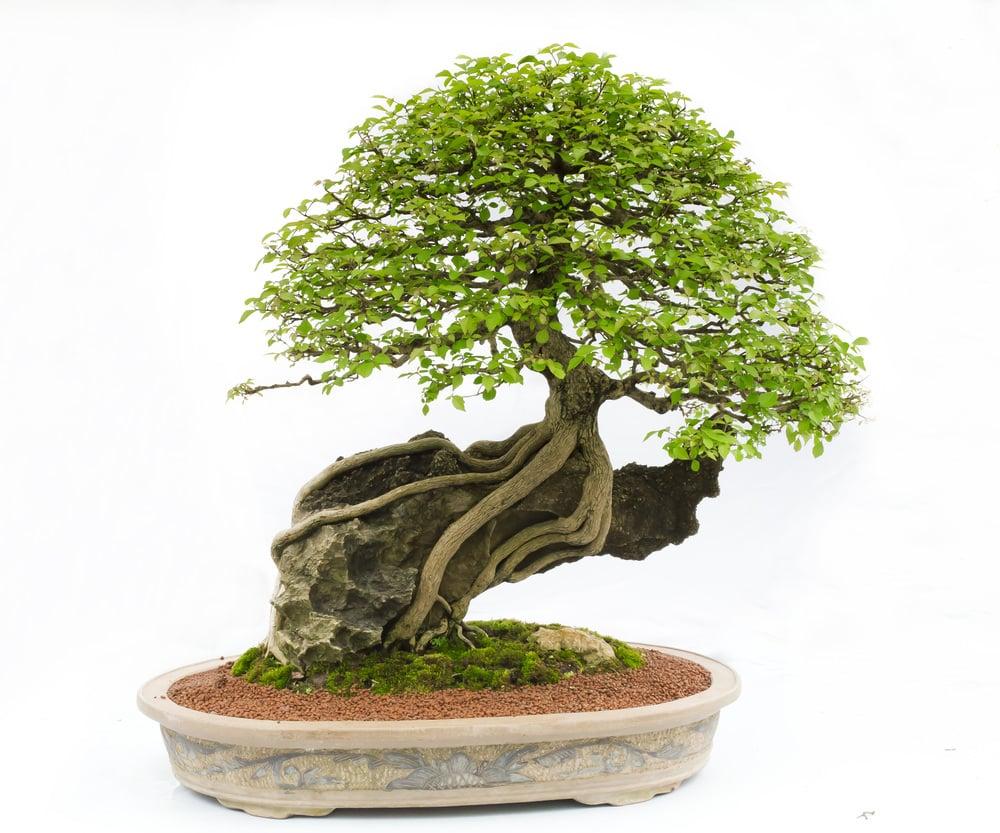 Bonsai Growing on a Rock