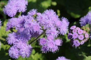 Blue floss (Ageratum houstonianum)